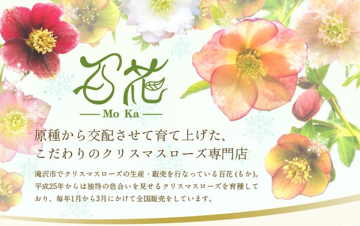 原種から交配させて育て上げた、 こだわりのクリスマスローズ専門店「百花 -MoKa-」